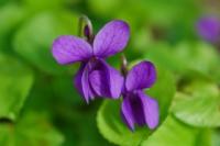Március hónap növénye a patikában